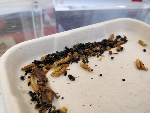 Free bug samples - waffles from The Economist magazine with roasted crickets outside Freshwater Place, Melbourne