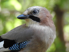 Eurasian Jay (Garrulus glandarius) (eerokiuru) Tags: jay garrulusglandarius eichelhäher sójka pasknäär nikoncoolpixp900 closeup p900 bird wildlife nature birding vogel
