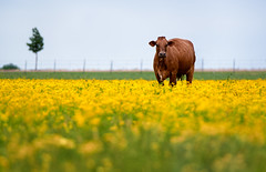 Find Your Happy Place (brian.pipe) Tags: nikon d500 80 400 afs cow flower field yellow parker texas tx