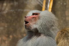 Hamadryas baboon (Papio hamadryas) - Paignton Zoo, Devon - May 2019 (Dis da fi we) Tags: zoo devon baboon paignton papio hamadryas africa arabia late pleistocene inhabit