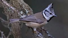 Vogel - Haubenmeise - Lophophanes Cristatus - Paridae - im Winter (monte-leone) Tags: haubenmeise lophophanes cristatus paridae