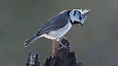 Vogel - Haubenmeise - Lophophanes Cristatus - Paridae (monte-leone) Tags: haubenmeise lophophanes cristatus paridae