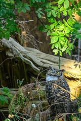 Great Horned Owl (phoca2004) Tags: birds birding z6 nikon sanfrancisco california unitedstatesofamerica greathornedowl bubovirginianus owl mtdavidson mountdavidson