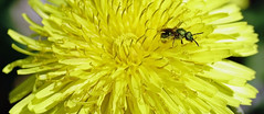 Macro (Wil James) Tags: bee pollen spring yellow dandilion food necter sony tamron macro tamron90mm ilca99m2