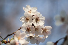 cherry blossoms (Christine_S.) Tags: flowers sunny spring petals floral bright outdoor tree nature park japan april canon eos mirrorless ef100mm closeup macro blossoms bloom flower blossom bokeh ngc npc