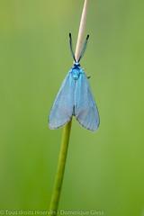 Turquoise de la globulaire - Scarce forester (dom67150) Tags: insecte jordanitaglobulariae moth procrisdescentaurée scarceforester turquoisedelaglobulaire zygène zygèneturquoise