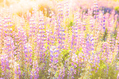 Lupine (Photo Alan) Tags: lupine flower flowers vancouver canada lights sunset field