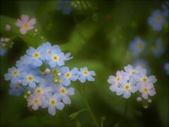 Myosotis (danielled61) Tags: myosotis bleu rose bois vert macro printemps mai fleur flower