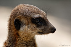 Is This The Right Look? (Alfred Grupstra) Tags: meerkat animal mammal wildlife alertness africa nature looking cute brown animalsinthewild small snout goodposture oneanimal standing zoo desert portrait