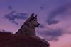 Aurora (Cruzin Canines Photography) Tags: animal animals canon canoneos5ds canon5ds canine 5ds eos5ds dog dogs aurora pet pets husky huskies alaskanhusky siberianhusky outdoors outside nature naturallight naturepreserve gardenofthegods colorado coloradosprings sunset sundown