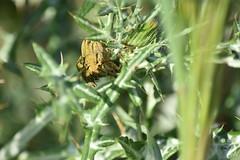 Tres es un cardo (esta_ahi) Tags: albereda gorgojo curculionidae coleoptera insectos fauna torrellesdefoix penedès barcelona spain españa испания