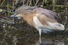 Squacco Heron (Tim Melling) Tags: squacco heron ardeola ralloides spain timmelling