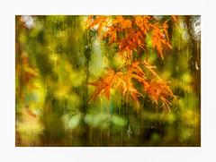 Adieu (jenni 101) Tags: abitofphotoshopfun australia autumncolour autumnleaves greatoceanroad impressionist nikond7200 onthewaytoerskinefalls sigmaart18 victoria bright photographybyjen