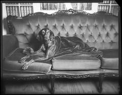 Izzy (Attila Pasek (Albums!)) Tags: sofa 127mmf47 analogue hungarian anniversaryspeedgraphic dog xray largeformat bw blackandwhite vizsla 4x5 film graflex
