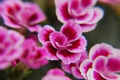 Dianthus Barbatus (Steenjep) Tags: blomst flower macro makro closeup dianthusbarbatus studenternellike