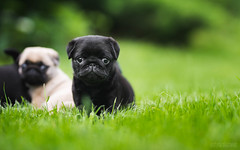 DSC_6203 (justyna.olichwier) Tags: pug puppy cute adorable black grass dog pet little