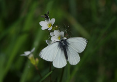 K32P4890aa Green-veined White, Lackford Lakes, May 2019 (bobchappell55) Tags: lackfordlakes suffolk wild wildlife nature butterfly insect greenveinedwhite pierisnapi