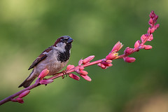 House Sparrow (Eric Gofreed) Tags: arizona housesparrow mybackyard sedona sparrow villageofoakcreek yavapaicounty