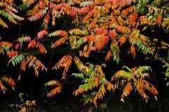 Sumac in Fall (klauslang99) Tags: klauslang nature naturalworld northamerica canada sumac fall autumn leaves bronte creek ontario provincial park