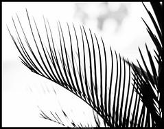 N&B (Fotomaniak 53) Tags: intérieur plante palmier nb monochrome fotomaniak53