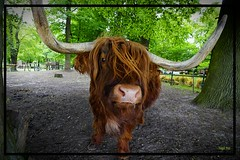 The Bull (tingel79) Tags: bulle animal tiere natur nature weitwinkel outdoor world day foto photographie photography sony
