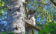 What are you looking at? (Snixy_85) Tags: owlet greathornedowl bubovirginianus owl