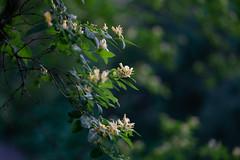 Even if... (Tashata) Tags: nature plant flowers spring green beautiful botanical blossom bokeh flora florals yellow outdoor outdoors orange sonyilce7rm2 fe90mmf28macrogoss