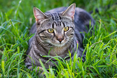 Kitty contentment...harmony with nature. (Picture-Perfect Pixels) Tags: contentment cutecat marley spring2019 grass outdoors tabby domesticshorthair cat