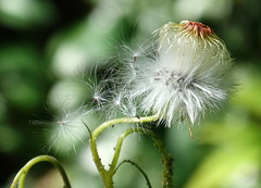 Little deeds are like little seeds, they grow to flowers or to weeds. (Daniel D. Palmer) (boeckli) Tags: 014060 rx100m6 plants plant pflanzen pflanze seeds samen nature natur outdoor australia newsouthwales weeds unkraut danieldpalmer
