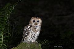 Tawny Owl-Strix aluco. (PANDOOZY PHOTOS) Tags: tawnyowl strixaluco bird birds birdofprey raptor night owlett uk gb brownowl nocturnalbird strigiformes strigidae owl owls tawnyowls juvenile young ferns moss owlet
