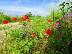IMG_0007y (gzammarchi) Tags: italia paesaggio natura pianura campagna ravenna sanmarco strada stradabianca fiore papavero malva