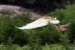 Fliegender Rallenreiher seitlich vor Laubbaeumen (naturgucker.de) Tags: ngidn673926250 ardeolaralloides rallenreiher