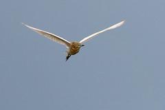Fliegender Rallenreiher von vorn (naturgucker.de) Tags: ngid785142146 ardeolaralloides rallenreiher