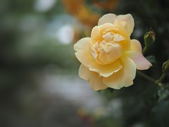 a creamy rose (Kito K (fxkito2)) Tags: closeup japan flower nature fineart bokeh lumix olympus color macro rose omd