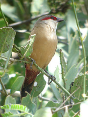 Crimson-rumped Waxbill Estrilda rhodopyga centralis (nik.borrow) Tags: bird waxbill estrildid abiata