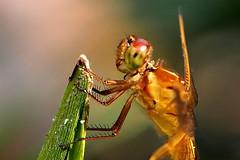 Golden-winged Skimmer (Jim Atkins Sr) Tags: dragonfly libellulaauripennis goldenwingedskimmer olympuspenepm2 olympus insect macro closeup fairfieldharbour northcarolina