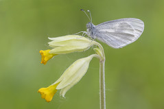 Wood White (Leptidea sinapis). (Bob Eade) Tags: butterflies wildlife woodwhite lepidoptera pieridae cowslip woodland chiddingfold surrey butterfly nature spring
