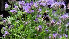 Bumblebee swarming in scorpionweed (Klaus • infrequently online •) Tags: gardenbumblebee gartenhummel bombushortorum phaceliatanacetifolia phacelia scorpionweed heliotrope rainfarnphazelie bienenweide bienenfreund büschelschön büschelblume hummel bumblebee bombo abejorro bourdon भौंरा hommel マルハナバチ шмель humla yabanarısı μέλισσα humle 熊蜂 طنانة humlebi kumbang бумбар trzmiel conong דבורההמזמרת bumbar земнапчела