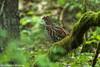 Hazel Grouse - Bialowieca - Poland CD5A0888 (fveronesi1) Tags: 35grouseptarmiganprairiechicken birds northeastpoland poland europe hazelgrouse