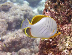 Chaetodon xanthocephalus (kmlk2000) Tags: sealifecamera dc2000 uwpics sea sun fish plongée diving padi marine biology macro poisson travel trip ocean lemondedusilence colorfull coral reef récif poissonpapillon butterflyfish chaetodon chaetodontidés chaetodontidae liveaboard cruise atoll island île maldives indianocean sealife underwater lagon marin paradis blue boat croisière indian