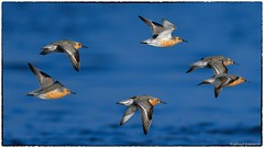 Red Knot in flight (RKop) Tags: capemay newjersey raphaelkopanphotography d500 600mmf4evr 14xtciii handheld migration nikon