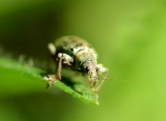 Grünrüssler (Phyllobius sp.) (Mark Montag) Tags: insekten rüsselkäfer grünrüssler phyllobius makro stadtnatur weevil coleoptera curculionidae insects macro beetle berlin köpenick natur nature