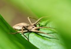 Listspinne - nursery web spider (Pisaura mirabilis) (Mark Montag) Tags: spinnen webspinnen jagdspinnen raubspinnen listspinne pisaura makro stadtnatur spiders macro araneae pisauridae berlin köpenick nature natur nurserywebspider