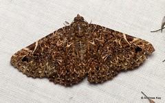 Geometer Moth (Ecuador Megadiverso) Tags: andreaskay ecuador geometermoth geometridae moth wildsumaco