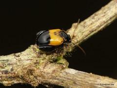 Flea beetle, Galerucinae (Ecuador Megadiverso) Tags: alticini andreaskay beetle chrysomelidae coleoptera ecuador fleabeetle galerucinae leafbeetle