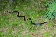 黃唇青斑海蛇 (jinnslim) Tags: yellowlipped sea krait