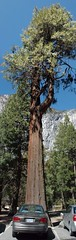 Yosemite giant sequoia tree (D70) Tags: yosemite national park american western sierra nevada central california 2001 oldsmobile intrigue stitched giant sequoia tree giantsequoiatree
