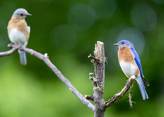 Hot date. (Yer Photo Xpression) Tags: ronmayhew easternbluebird pair male female bird blue canon tamron coth alittlebeauty coth5