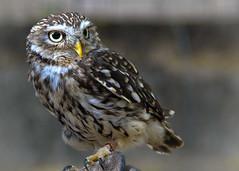 Owl (geraldineh.dutilly) Tags: wildlife owl birds