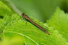 Red Damsel (cabalvoid) Tags: woodland damsel wild wildlife damselfly fauna lincoln fly a7riii uk nature